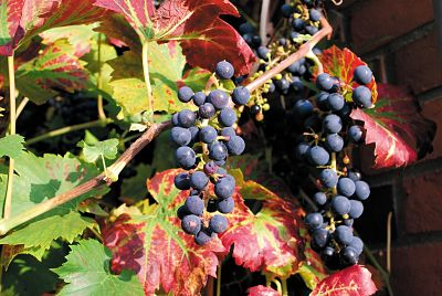 Grapes for red wine making